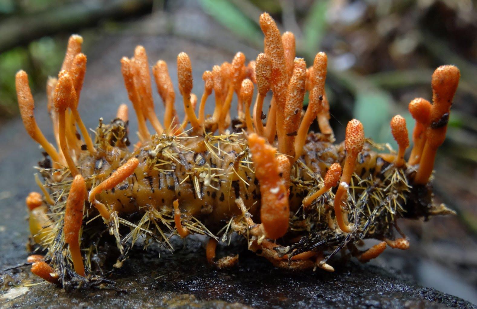Sự thật về nguồn gốc, công dụng của đông trùng hạ thảo
